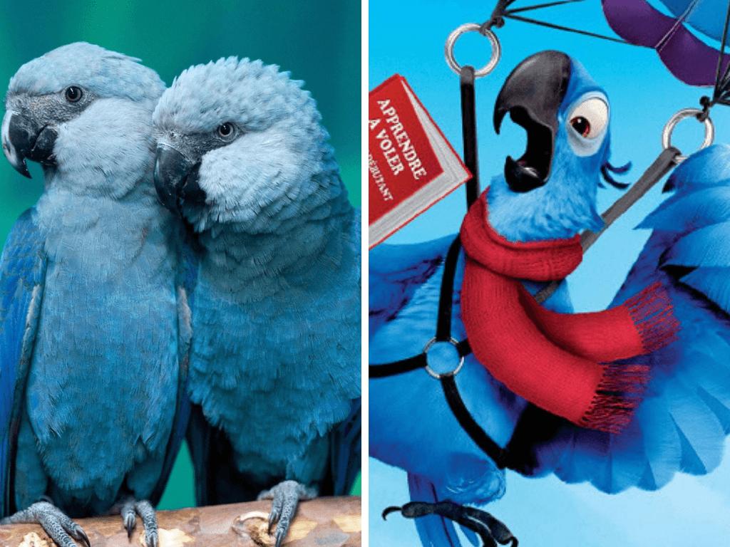 L'ara de Spix, l'espèce d'oiseau représenté dans le film «Rio» a été classée comme éteinte à l'état sauvage.